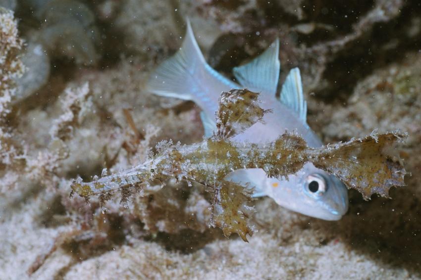 Fotoausstellung Grandeblu Indonesien, Indonesien allgemein,Indonesien,geisterpfeifenfisch