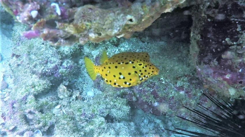 Boxfish, Sumhuram Divers Oman, Mirbat, Oman
