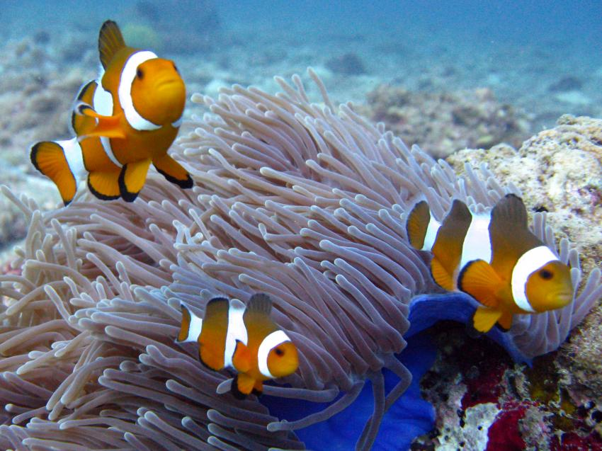 Phuket Tauchen: Westküste - Kamala Surin Bangtao, Phuket Wrack Tin Lizzy,Thailand,Anemonenfische,Nemo,Anemone