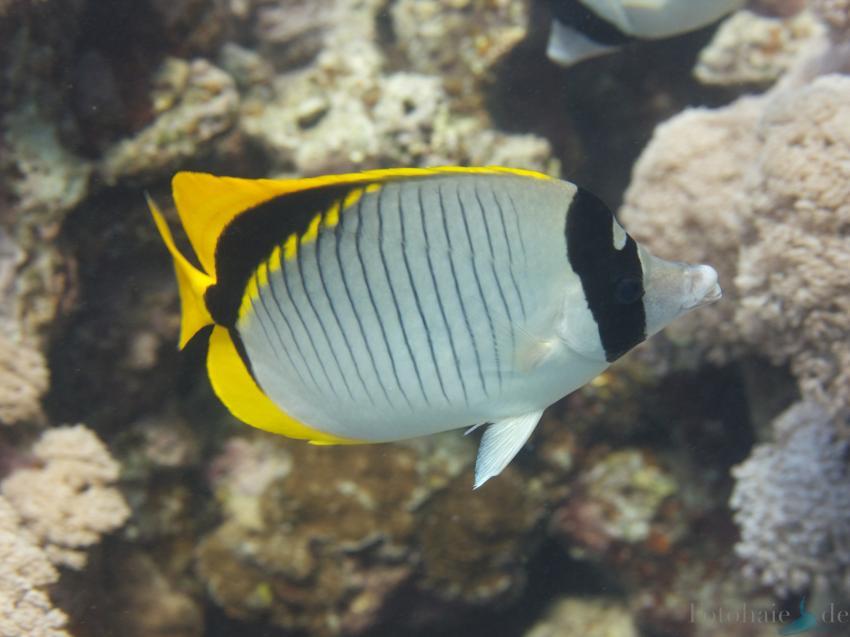 El Quseir, Sharm Fugani - Ras Fungani (Mangrove Bay),Ägypten,Riesen-Falterfisch