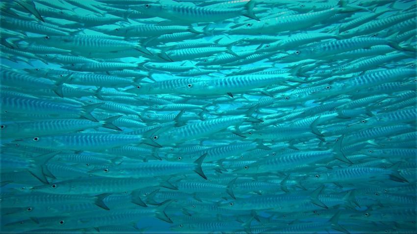 Barrakuda, Apo Diver Siquijor, Philippinen