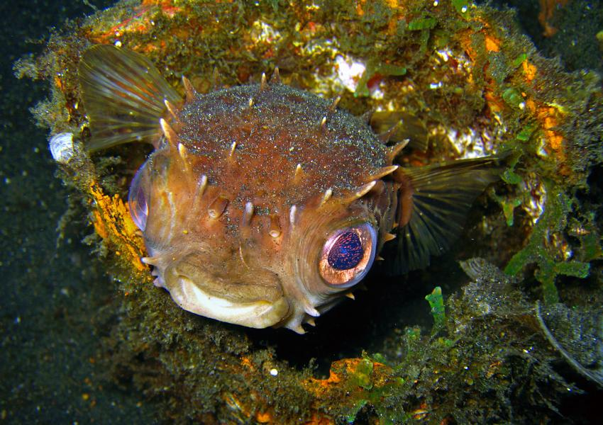 Gangga Island, Gangga Island,Nord-Sulawesi,Indonesien,Kugelfisch,Igelfisch,Diodontidae