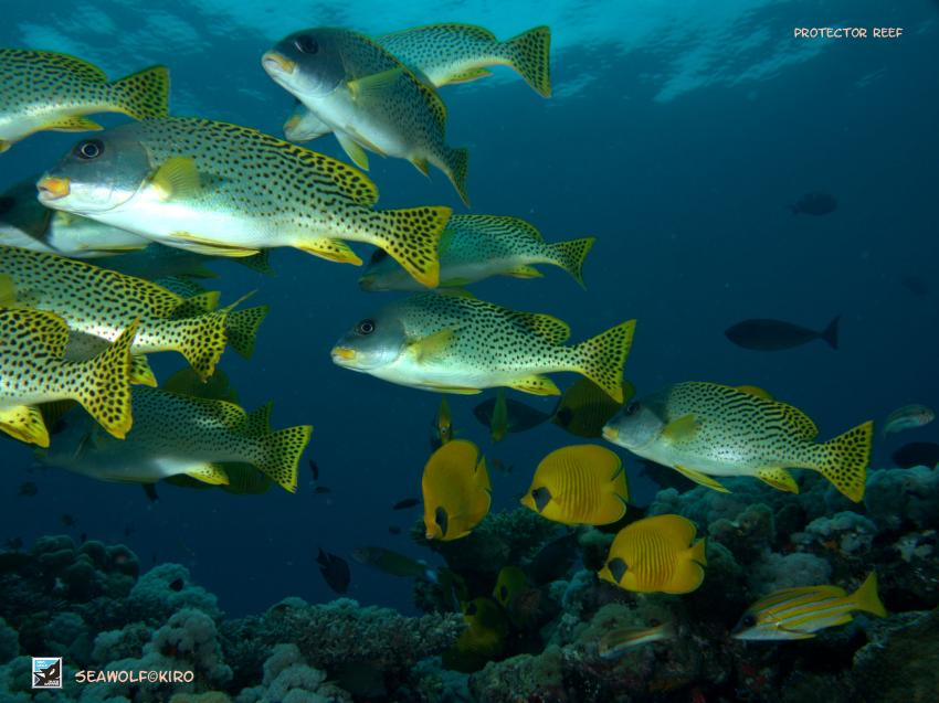 Protector Reef, Seawolf Diving Safari Dominator Sudan Reef Süden Suakin, Protector Reef, Südsudan, Sudan