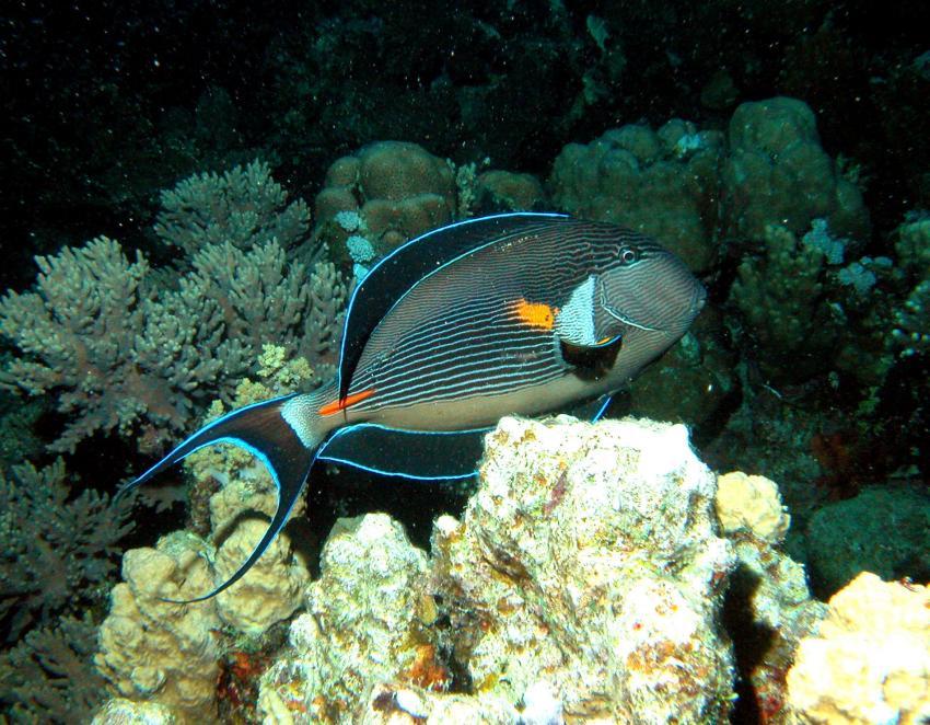 Zabargad Hausriff, Zarbagad,Ägypten,Sohaldoktorfisch,Acanthurus sohal