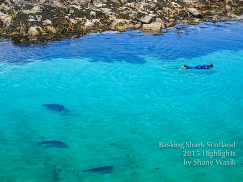 Schnorcheln mit Seehunden, Seehunde, schwimmen, Schottland, Basking Shark Scotland, Basking Shark Scotland, Oban, Großbritannien
