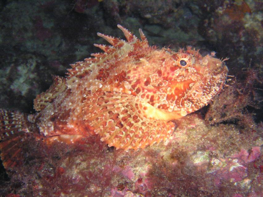 Mallorca-Porto Colom, Mallorca,Porto Colom,Spanien,Skorpionsfische,Drachenkopf