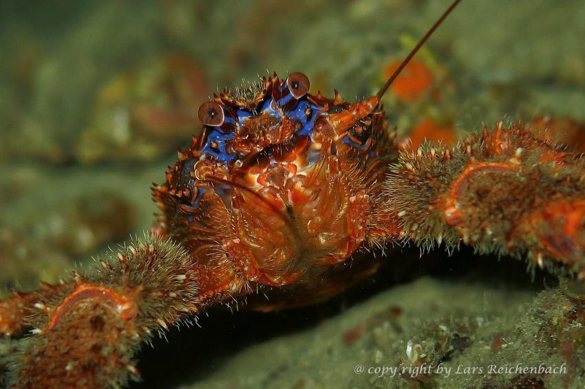 Krebs, Mittelmeer, Adria, Hang-Loose-Diving, Punat, Insel Krk, Kroatien