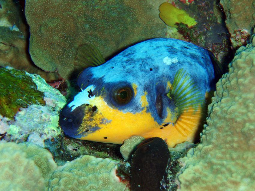 ein paar bilder, Palau und Yap allgemein,Palau,Kugelfisch