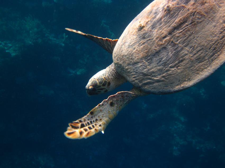 Schnorcheln Juni 2010, Coraya Bay,Ägypten,Meeresschildkröte,schwimmend