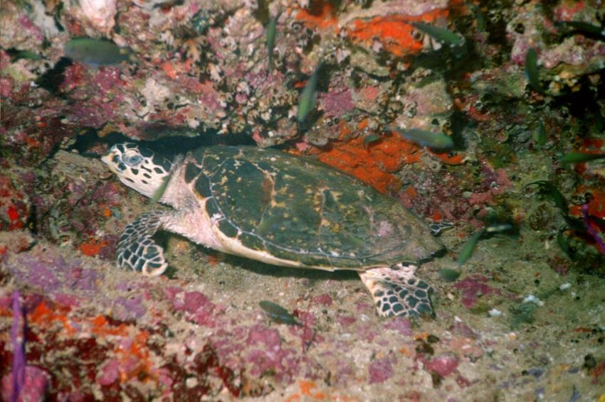 Daymaniyat Islands, Daymaniyat Inseln,Oman,Meeresschildkröte