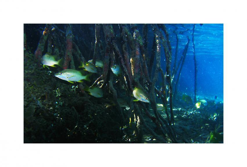 Jardines de la Reina, Jardines de la Reina,Kuba,Kinderstube,Mangroven,wurzeln,jungfisch