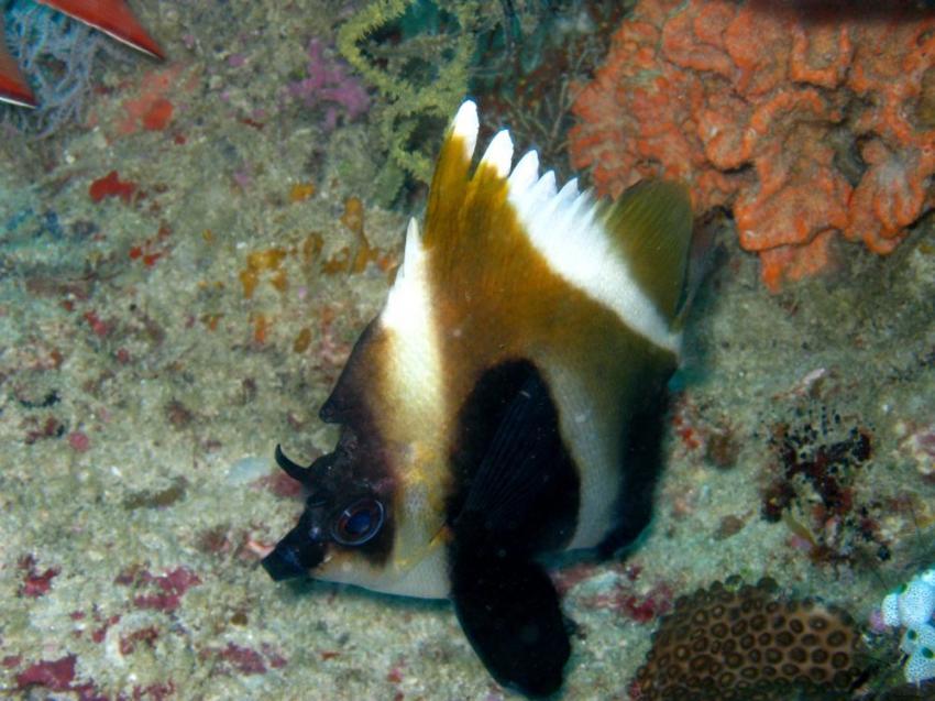 Vilu Reef, Vilu Reef,Malediven,breitbandwimpelfisch,wimpelfisch