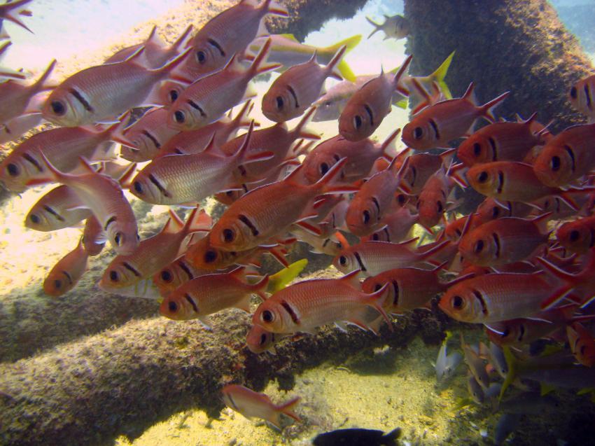 Sal / ScubaCaribe, Insel Sal,St. Maria,Kap Verde,Soldatenfische