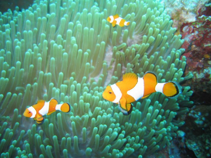 Mactan, Mactan Island,Samal Island,Philippinen,Clownfische,Anemonenfische