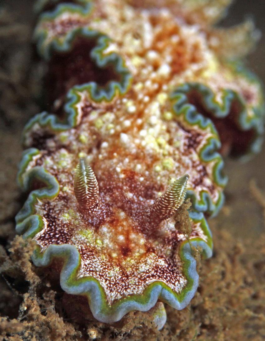 Urlaubsbilder, Raja Ampat,Indonesien,Prachtsternschnecken,Chromodorididae,Nacktschnecke