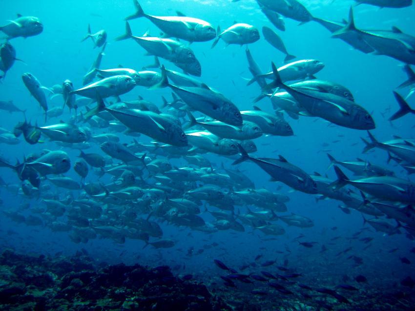 Makrelenschwarm zieht übers Riff