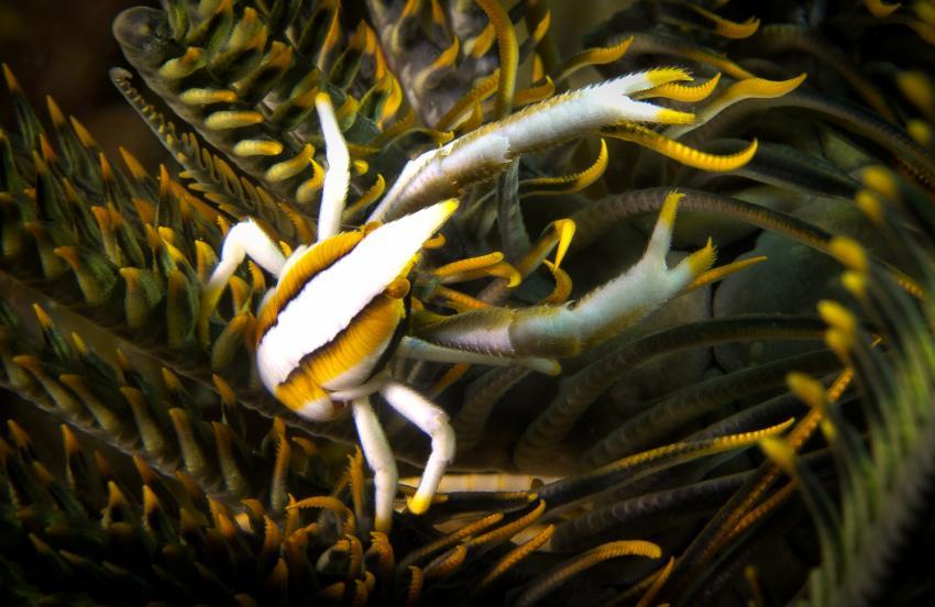 Krabbe in Koralle