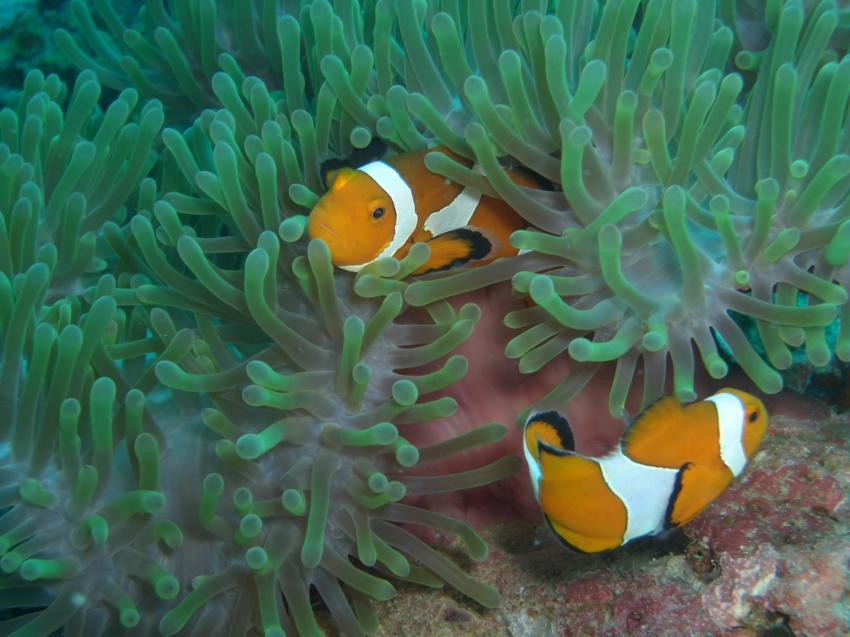 Pulau Redang, Redang,Malaysia,Anemonenfische,Anemone