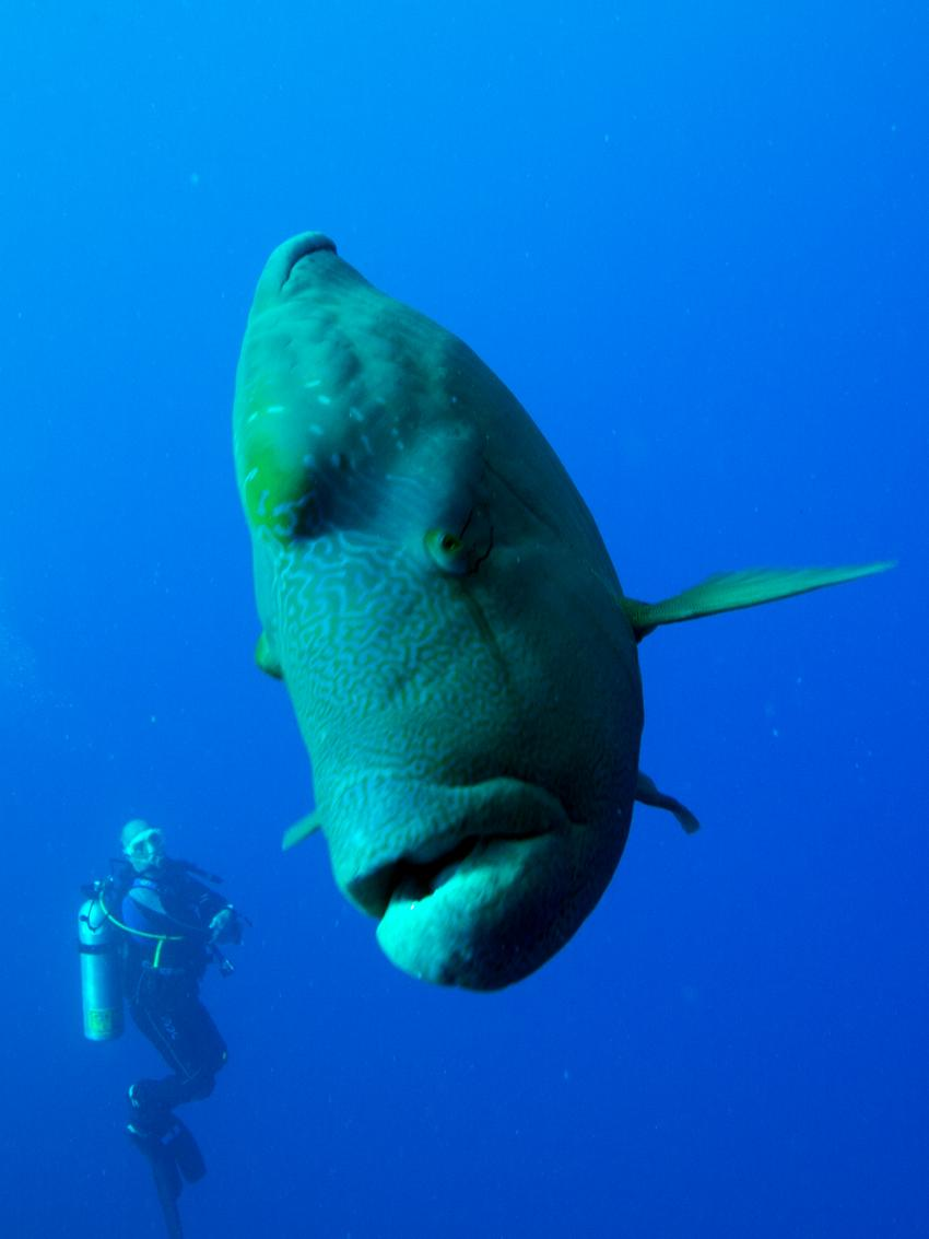 Brothers Daedalus Elphinstone 2014, Brother Islands / Deadalus Reef,Ägypten,Schaffel,Napoleon,Lippfisch
