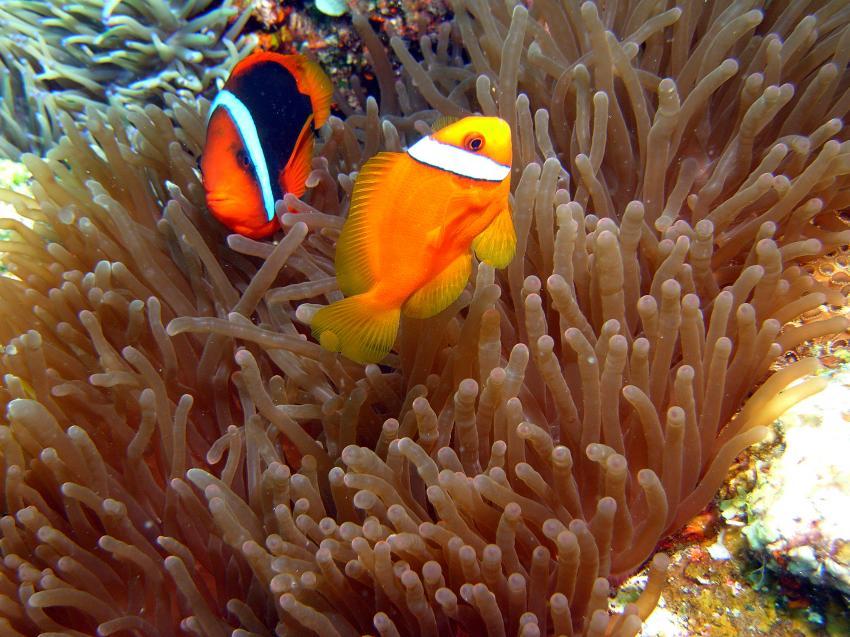 Siquijor, Siquijor,Philippinen,Anemonenfische,Anemone