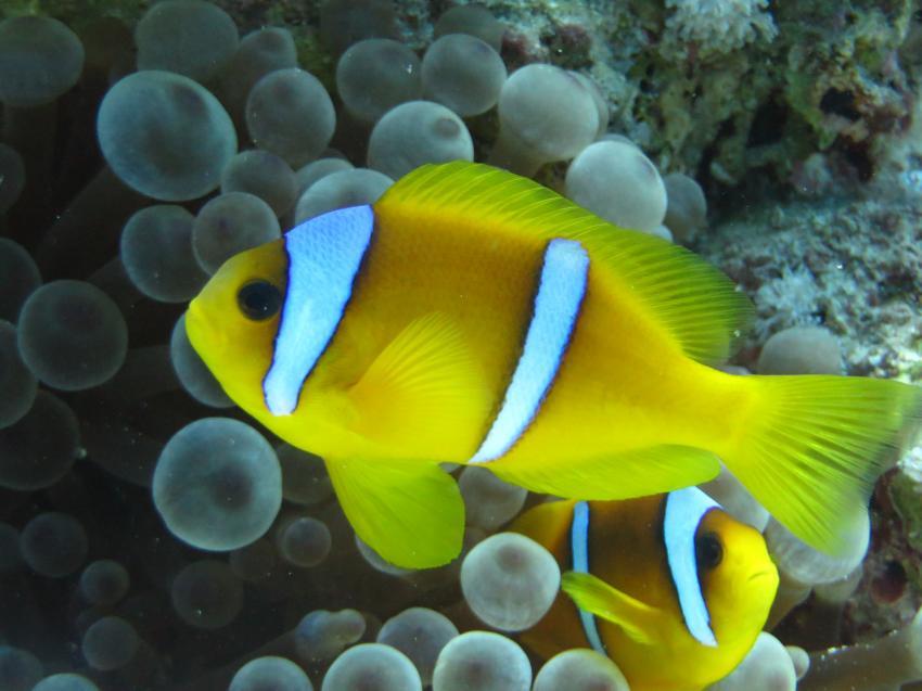 Clown Anemonenfischen, Extra Divers - Equinox, Marsa Alam, Ägypten, Marsa Alam und südlich