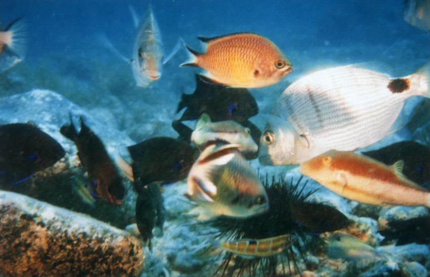Fuerteventura - Corraljeco, Corralejo,Fuerteventura,Spanien,Seeigel,fische,schwarm