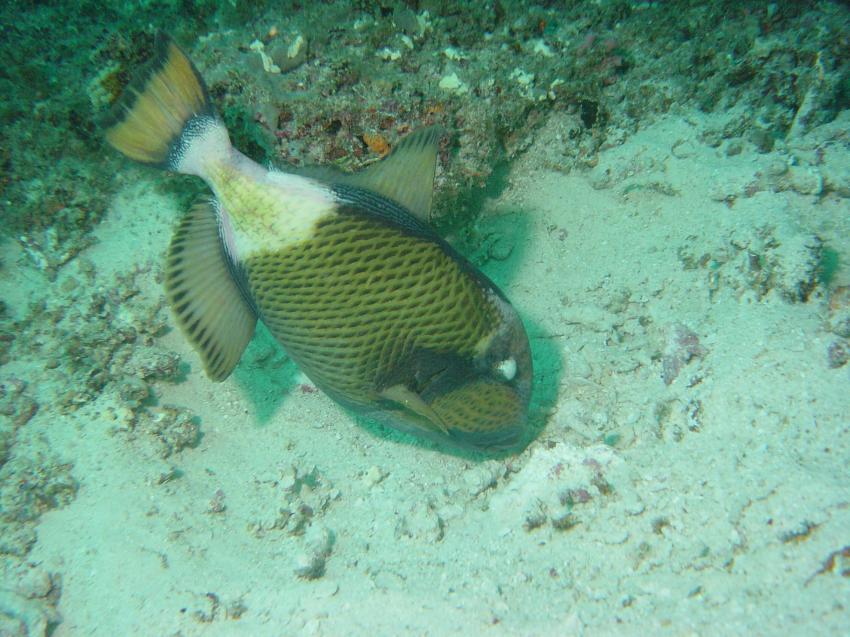 Handhu Falhi Tauchsafari, Handhu Falhi,Malediven,Titandrücker,drückerfisch,agressiv,nest,gelege,territorial