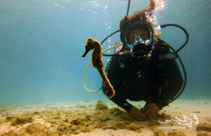 Seepferdchen, Relaxed Guided Dives, Niederländische Antillen, Curaçao