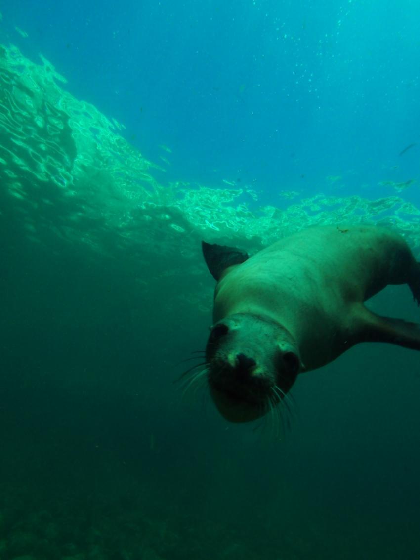 Seelöwenkolonie, Los Islotes/ Baja California,Mexiko