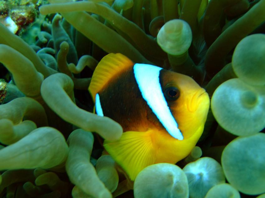 Anemonenfisch Detailaufnahme