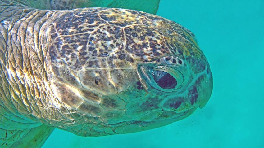 Beim Luftholen kommt mir die Riesenmeeresschildkröte ganz nahe - Marsa Mubarak