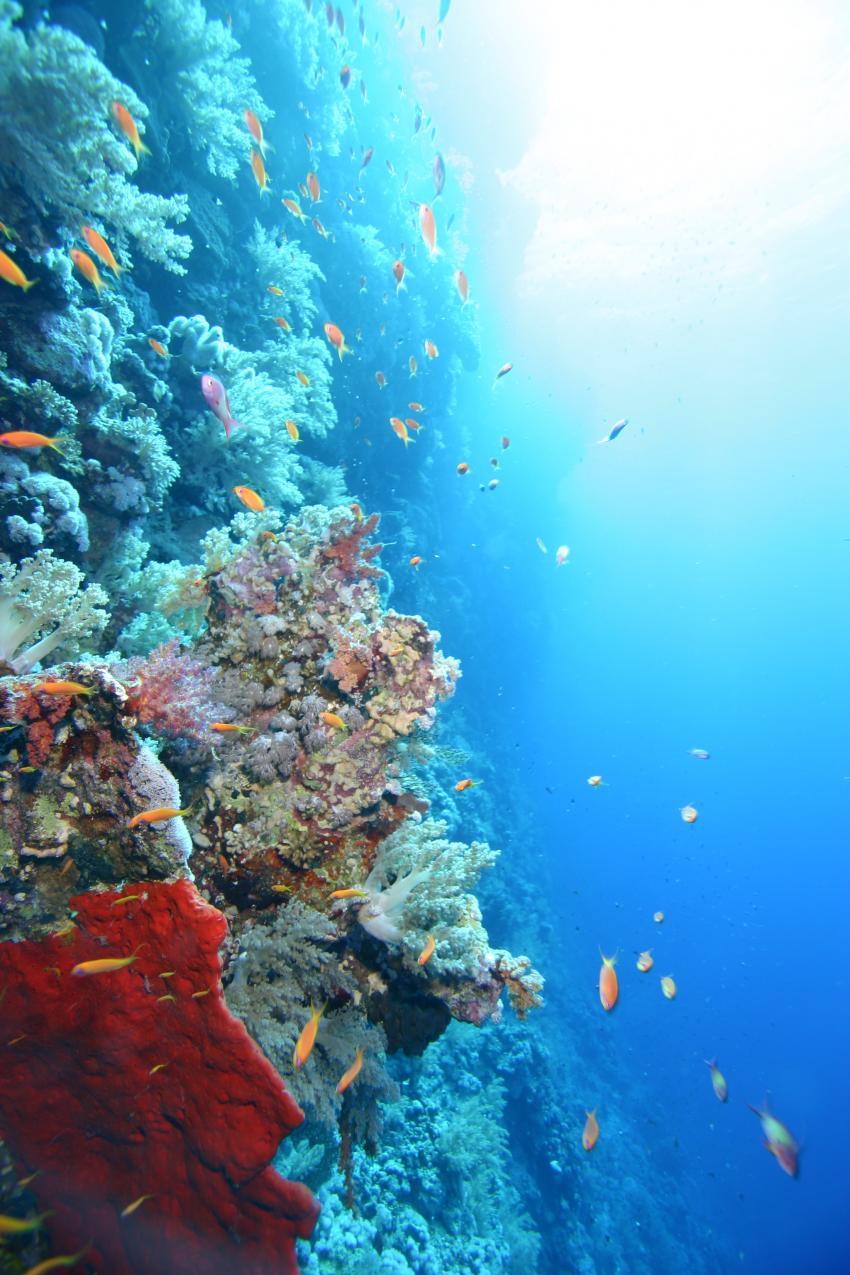 Elphinstone Reef - Fotos von 2 Tauchgängen, Elphinstone Reef (Marsa Alam),Ägypten,Steilwand,drop-off