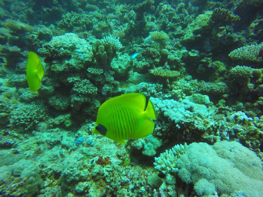 Falterfische, Wonderful Dive, Akassia LTI & Calimera, Ägypten, El Quseir bis Port Ghalib