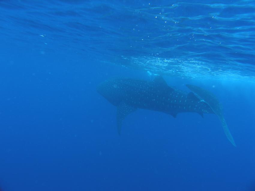 Wahlhaie in Pescador vom 2.6.2012. Eine Woche, Moalboal,Pescador Island Moalboal Cebu,Philippinen