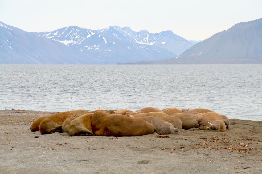 Poolepynten - Treffpunkt der Walrösser, Svalbard (Spitzbergen),Norwegen,Walrossherde in Poolepynten,Svalbard