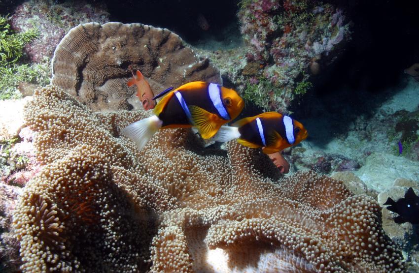 Palau Aggressor 2, Palau und Yap allgemein,Palau,Clownfische