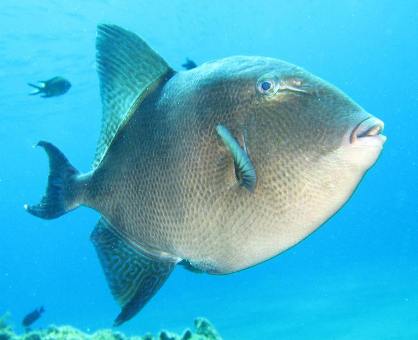 Nautic-Dive, Lanzarote, Spanien, Kanarische Inseln, Drückerfisch