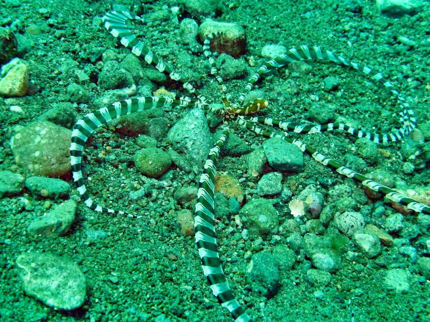 octopssy, Dauin,Philippinen