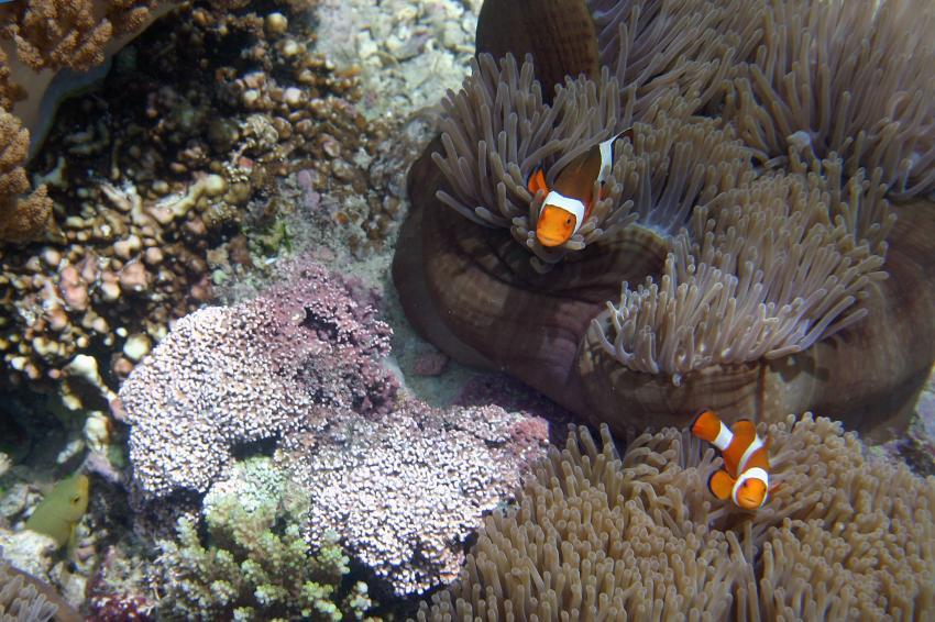 Pulau Satonda, Pulau Satonda,Indonesien,Anemone,Skunk,Anemonefische