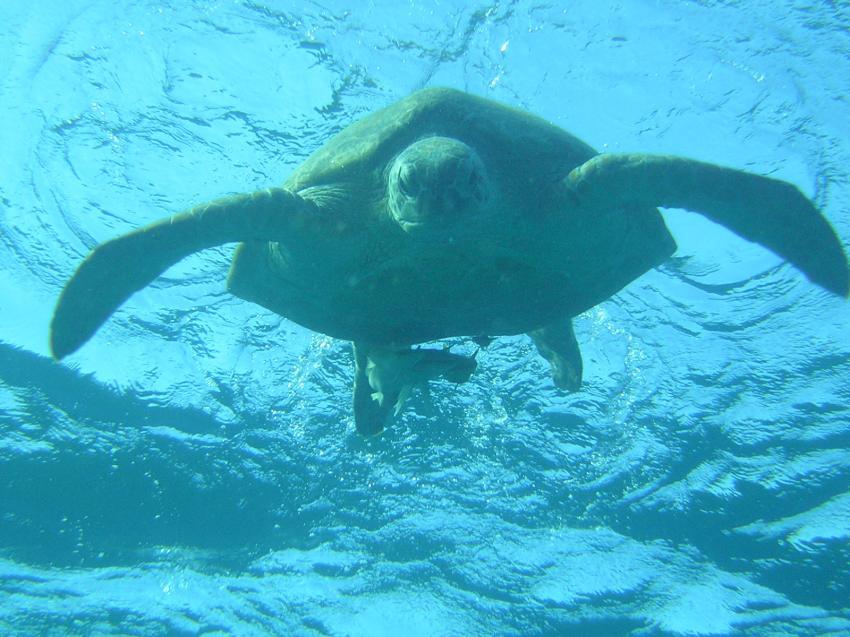 Dugong in Egla, Marsa Egla,Ägypten