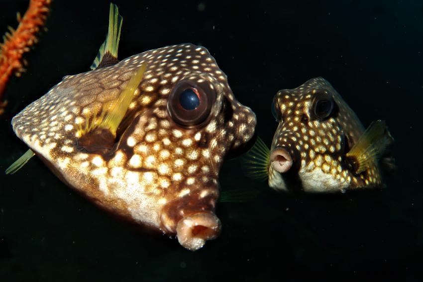 Neugierige Kofferfische, Villa Mango Curacao Dive Center, Willemstad, Niederländische Antillen, Curaçao