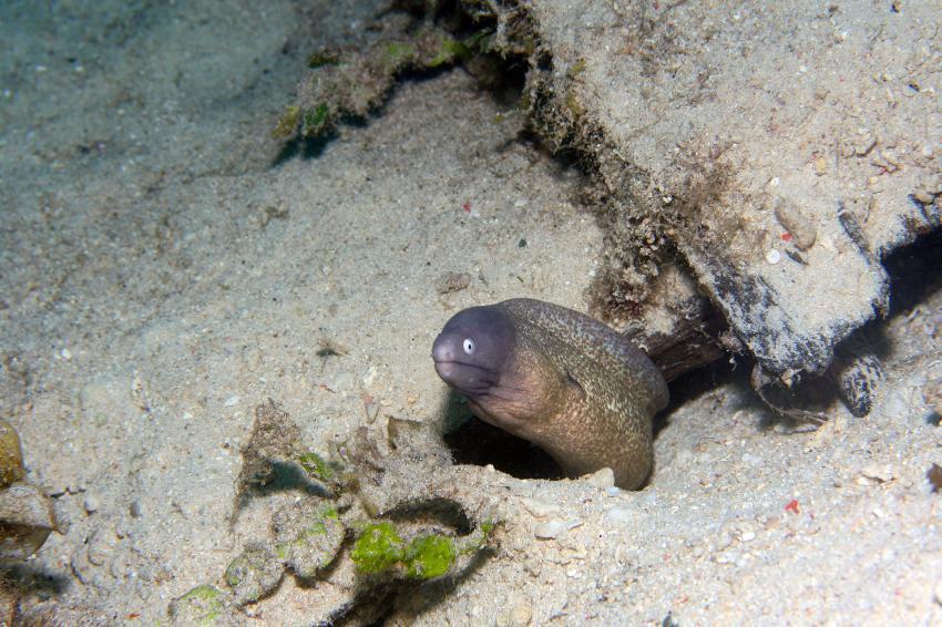 Pulau(= Insel) Sahaung (Bangka Archipel), Pulau Sahaung,Indonesien,Weißaugen-Muräne (Gymnothorax thyrsoideus)