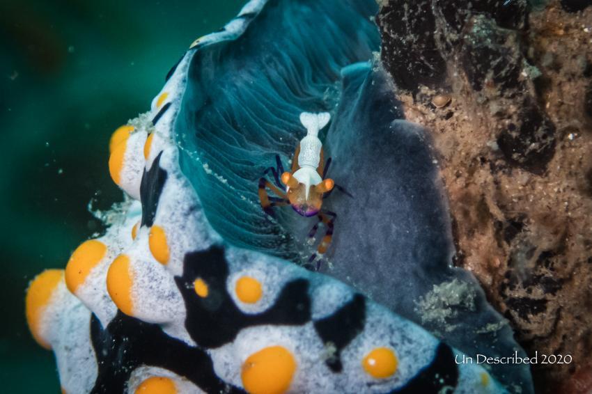 Emperor Shrimp auf Phyllidia