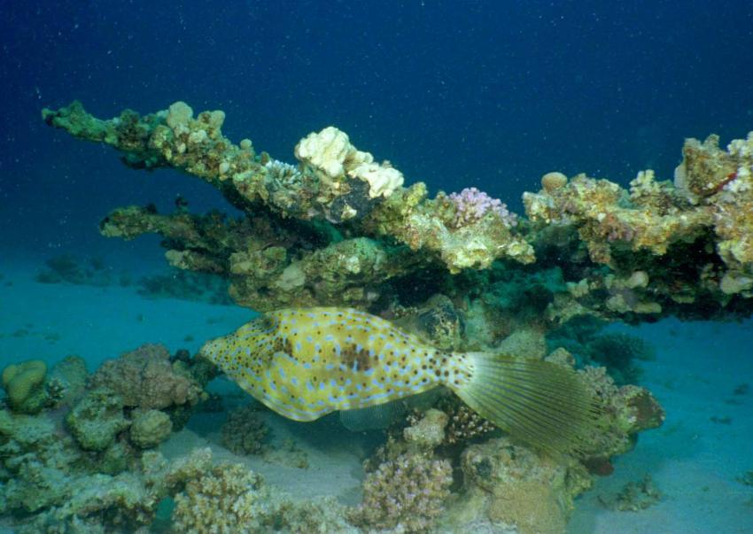 Elphinstone Reef, Elphinstone Reef (Marsa Alam),Ägypten,Feilenfisch
