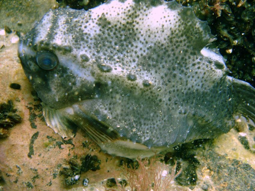 Ostsee/ Rügen, Ostsee / Rügen,Mecklenburg-Vorpommern,Deutschland,weiblicher Seehase