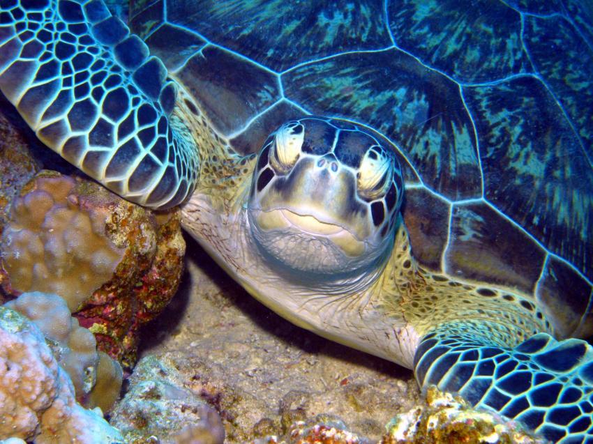 Hausriff Tulip Resort Marsa Alam, Hausriff,Tulip Resort,Ägypten,Schildkröte,Meeresschildkröte,Karettschildkröte