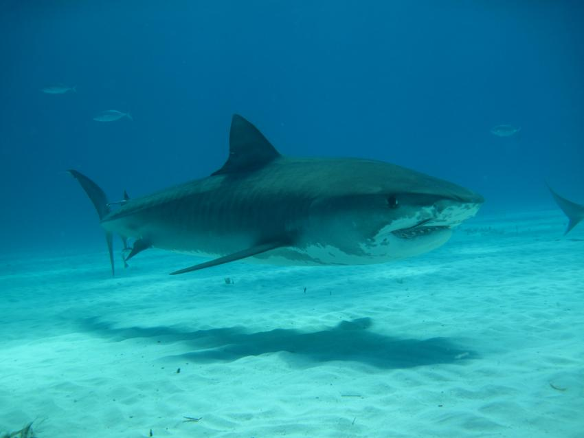 Sharks, Tiger Beach,Bahamas,Hai,Tigerhai