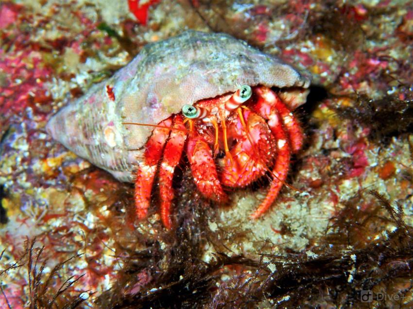 Einsiedlerkrebse, Hermit Crab, Krebse, Meeresbewohner, DiveSmart Gozo, Malta, Gozo