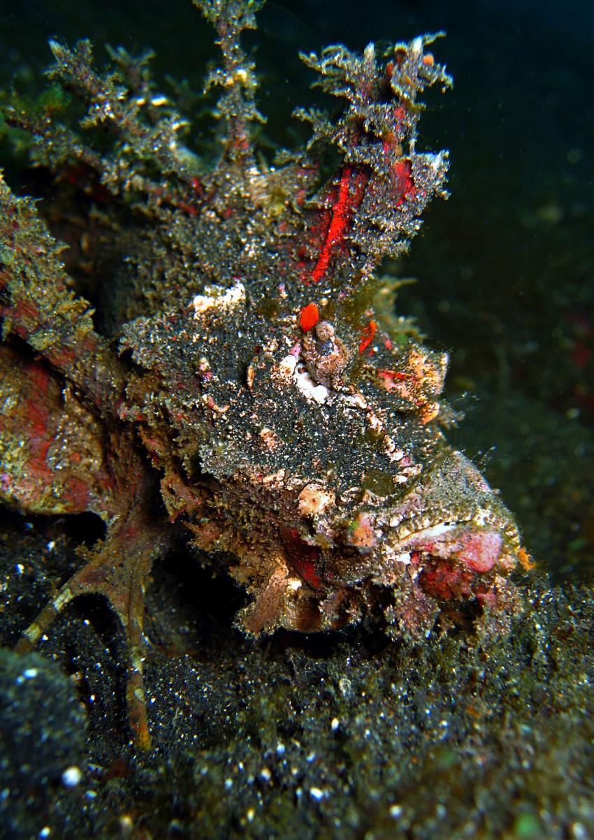 Gangga Island, Gangga Island,Nord-Sulawesi,Indonesien,Teufelsfisch