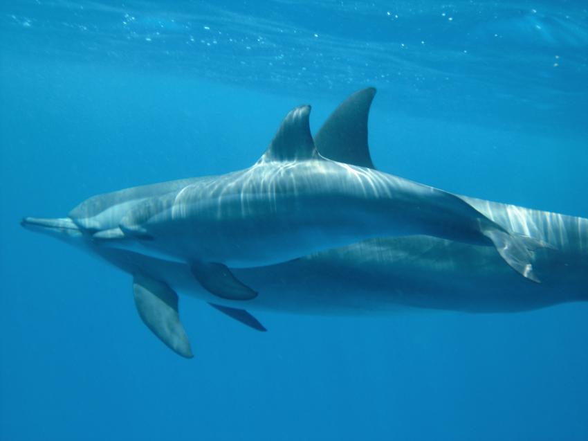 Shaab Marsa Alam , Delfine, Sha´ab Marsa Alam,Ägypten,Delfine,Cetacea,Wasseroberfläche